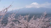 virágzik : Mt. Fuji over Cherry Blossoms (time lapse)
