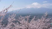 virágzik : Mt. Fuji over Cherry Blossoms (real time 60p)