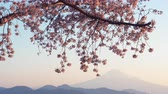 virágzik : Mt. Fuji and Cherry Blossoms at Sunrise (LOOP)