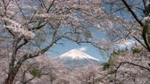 virágzik : Mt. Fuji Framed with Cherry Blossoms