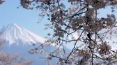 virágzik : Mt. Fuji and Cherry Blossoms (Rack FocusPanning)