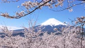 avril : Nt. Fuji Framed by Cherry Blossoms (Panning)