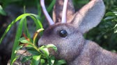 zając : Wild Jackalope Browses on Leaves