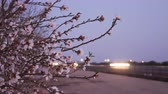 vadi : Blossoms along Highway 99 in Californias San Joaquin Valley Stok Video