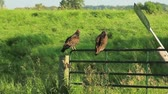 cephe : Turkey vultures sitting on a fence by the side of a country road