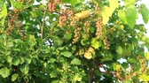 страна : Wild grapes with vines growing over a tree Стоковые видеозаписи