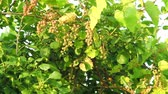 фрукты : Wild grapes with vines growing over a tree Стоковые видеозаписи