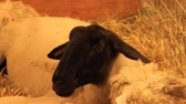 olhar : Suffolk sheep resting in a pen Stock Footage