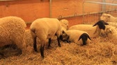 jehněčí : Suffolk sheep and Long wool sheep resting and eating hay in a pen