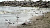 океаны : Flock of seagulls or gulls settled on the sand beach with strong waves moving on a windy afternoon
