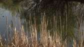 nie : Cat tails with tree reflections on lake waters