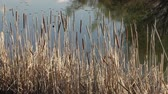 jezera : Cat tails with tree reflections on lake waters