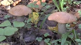 soupon : Close up of two Leccinum mushroom in forest