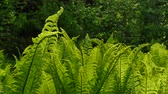macro : Fern swaying in the wind Stock Footage