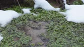 saláta : Watercress (Nasturtium officinale) plant growing in winter at a groundwater fed spring.
