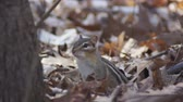 звук : A cute Eastern Chipmunk calling in woodland near is burrow.  The chipmunk Tamias striatus calls to others before running into its burrow.