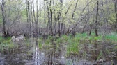 wzrost : The grass is growing among the water and trees of a floodplain forest in the early spring.