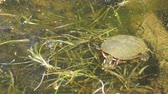 рептилия : A painted turtle Chrysemys picta attacks it food while feeding in a pond with many aquatic plants. Стоковые видеозаписи