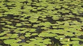 zpěv : static view of spatterdock water lily pads floating on the calm water of a pond while birds sing in the background. Dostupné videozáznamy