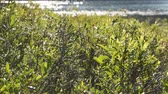 lagos : The evergreen leaves of the Leatherleaf Shrub are closeup in the foreground while a lake in the background is pleasingly out of focus. Stock Footage