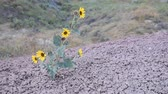 Annual Sunflower Helianthus annuus growing on cracked, rock-like soil with prairie in the background.  These flowers are what the domestic sunflower were bred from. Dostupné videozáznamy