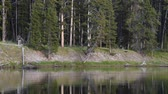 A quiet scene of the Yellowstone River, with water flowing calmly by.  On the steep river bank are forest of conifer trees. Dostupné videozáznamy