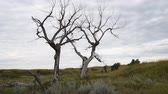 Two dead Plains Cottonwoods stand in the shortgrass prairie of South Dakota while a bird in the tree sings. Dostupné videozáznamy