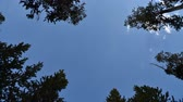 borovice : Time lapse looking up through lodgepole pine tree tops against a blue sky with white clouds and wisps of clouds blowing by. Yellowstone National Park