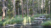 A Lodgepole Pine forest with an understory of sedges and grasses, on the shore of the Gibbon River in Yellowstone National Park. Dostupné videozáznamy