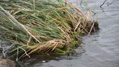 A hybrid cattail Typha x glauca mat with attached stems and leaves rocks back and for the in the waves of lake after being uprooted from a nearby wetland. Dostupné videozáznamy