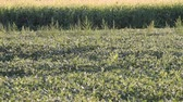 In a farm field the wind plays in the corn field and touches the low soybean plants in the early morning light.