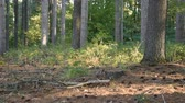 borovice : Pine needles, leaves, and pine cones cover the forest floor of this woodland.  The bark and tree trunks of Eastern White Pines are visible. Dostupné videozáznamy