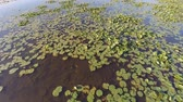 Low altitude flight over the deepwater marsh portion of a lake.  The wetland features the floating leaves of water lilies, and lotus. Dostupné videozáznamy