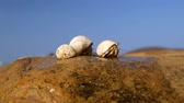 soldado : Hermit crab comes out of the shell tropical ocean beach