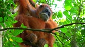liána : Animals in wild. Orangutan female in tropical rainforest relaxing on tree. Sumatra, Indonesia