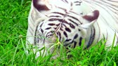doze : White Bengal tiger sleeping in thick green grass. Beautiful predator resting on ground and slowly breathing. Gorgeous rare species in wild nature. Tranquil wildlife scene. Front view. Still camera.