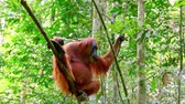 liána : Zooming video of orangutan female in tropical rainforest relaxing on tree. Animals in wild. Sumatra, Indonesia Dostupné videozáznamy