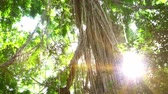 liána : Amazing scenery of tall tropical trees with lianas hanging down from top. Rays of bright sunlight breaking through thick foliage of rainforest. Bottom view. Camera zooms out. North Sumatra, Indonesia. Dostupné videozáznamy
