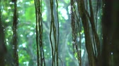 liána : Close-up of long lianas hanging from exotic tree with bokeh around it and against dense green foliage on background. Astonishing magic of tropical rainforest in small details. Camera stays still.