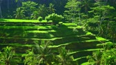 espalhando : Rice terraces cascading downwards and forming valley surrounded by dense jungle. Scene of tropical farming with carefully tended seedbeds descending down. Camera zooms out. Ubud, Bali, Indonesia. Stock Footage