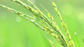 flower growing sun : Close-up shot of rice spikelet slightly trembling in wind, covered with morning dew and sparkling under bright sunlight against vividly green grass on background. Freshness concept. Still camera.