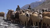 ovelha : LADAKH, INDIA - 19 SEPT 2017: Pair of shepherds leading herd of sheeps and goats along road against Himalaya mountains on background. Herdsmen guiding flock of domestic animals in Himalayan highlands. Vídeos