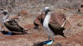 adapted : Blue footed booby mating dance on North Seymour Island in the Galapagos Islands