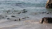 african penguin : African penguins swimming at Boulders Beach, Cape Town, South Africa
