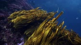 морские водоросли : Bull kelp and seaweed moving with current underwater at Poor Knights Islands, New Zealand