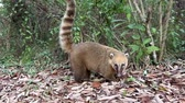 omnivore : Coati (Nasua) walking in booking Iguazu Falls, Argentina.