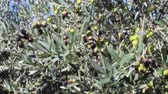umbrie : Olives on tree branches in an olive grove (3)