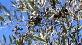 umbrie : Olives on tree branches in an olive grove (4) Dostupné videozáznamy