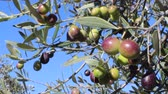 umbrie : Olives on tree branches in an olive grove (close-up 3)