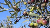 umbrie : Olives on tree branches in an Italian olive grove (5)
